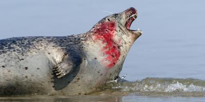 Zeehonden gaan door tot bloedens aan toe. FOTO MARCEL VAN KAMMEN