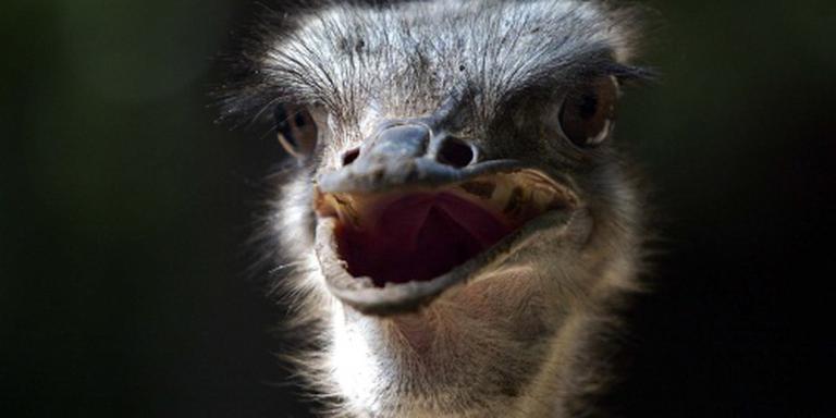 Struisvogel op de snelweg