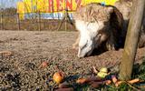Dieren Circus Renz dreigen te verhongeren door coronacrisis: 'Met alles wat de mensen overhouden, zijn we blij'