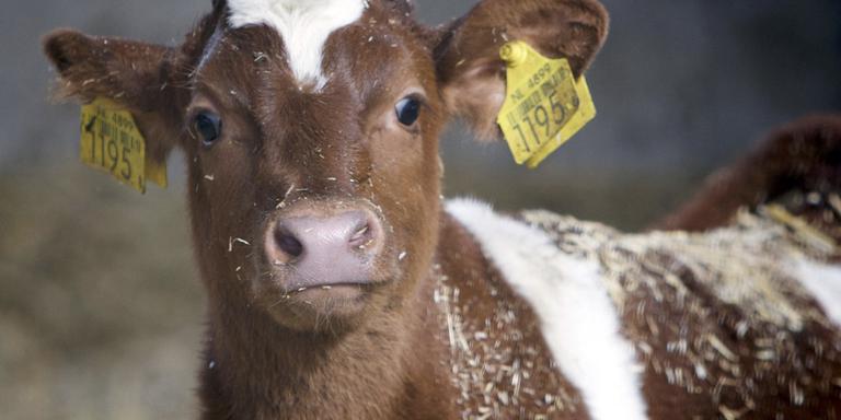 Jong kalfje moet langer bij de koe