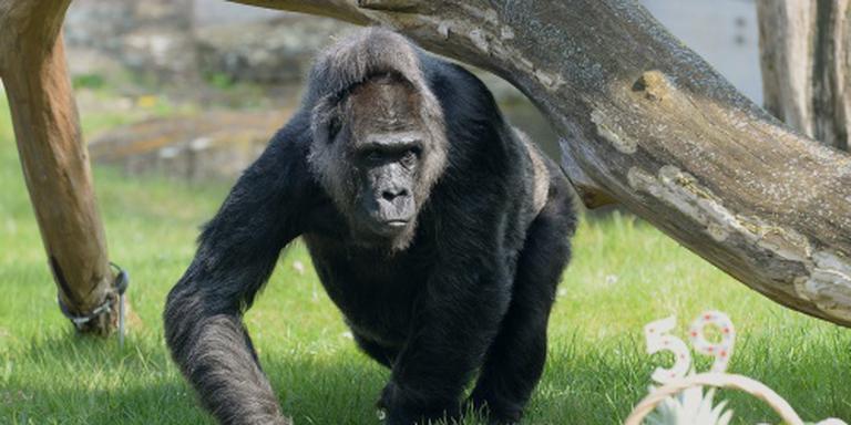 Gorilla gooit peuter rond in dierentuin
