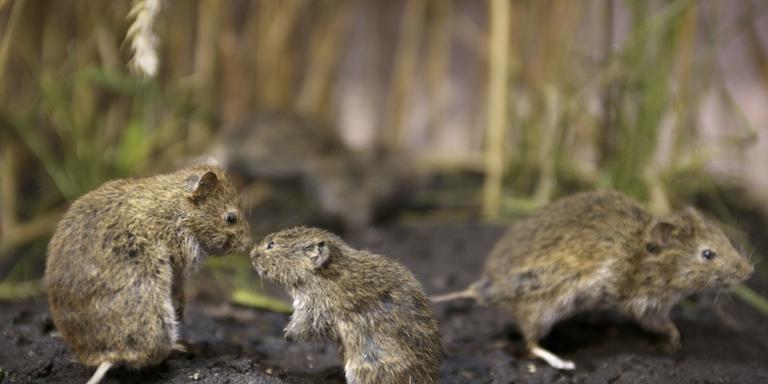 Berchhiem mijdt vetbollen om muizen