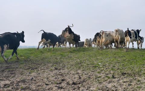 EU-parlementariër laat zijn koeien dansen