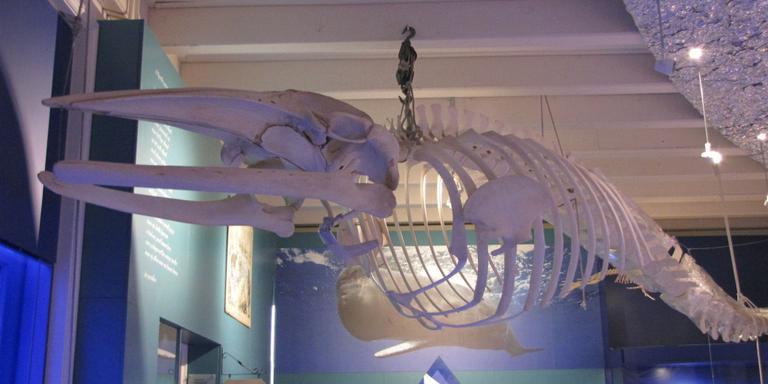 Dwergvinvis terug in Natuurmuseum
