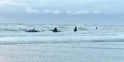 Gestrande potvissen Texel zijn dood