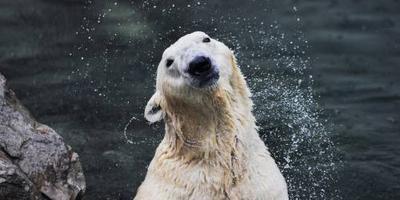 Laatste ijsbeer Zuid-Korea overleden