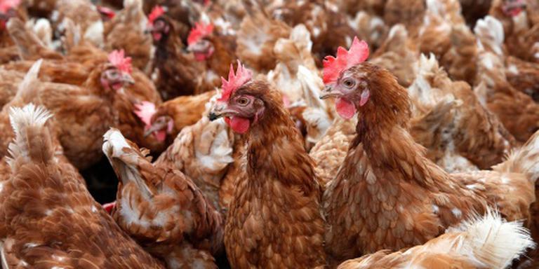 'Uitgelegde kippen als oud vuil behandeld'