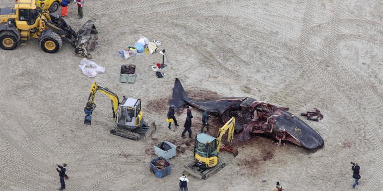 Luchtfoto van de potvissen die op het strand van Texel zijn aangespoeld. Omdat de ontbinding van de kadavers snel gaat, worden de dode dieren rap van het strand gehaald. ANP DUTCHPHOTO