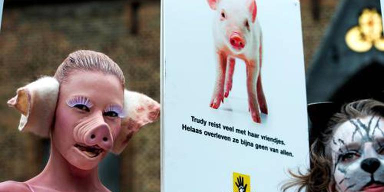 Gruwelbeelden Nederlandse varkensfokkerijen