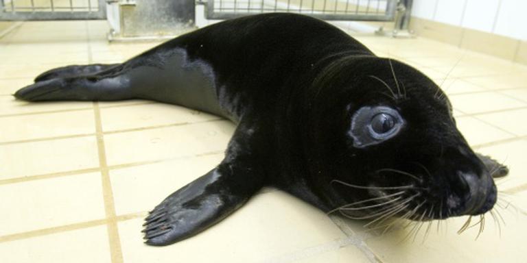 Zeldzame zwarte zeehond in opvang Pieterburen