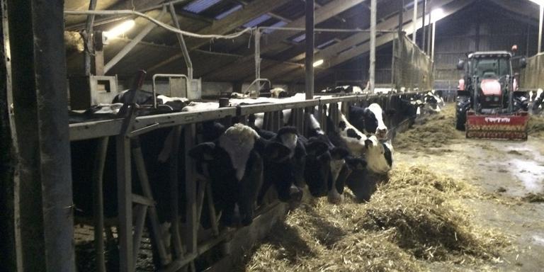 CBS telt in Friesland 256.872 melkkoeien