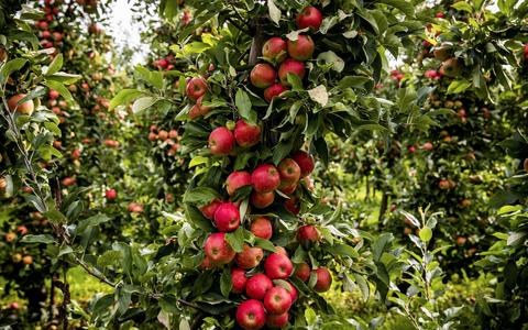 Dit is waarom de Elstar-appels in de winkel allemaal op zijn