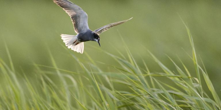 Windmolenpark mogelijk onveilig voor watervogels