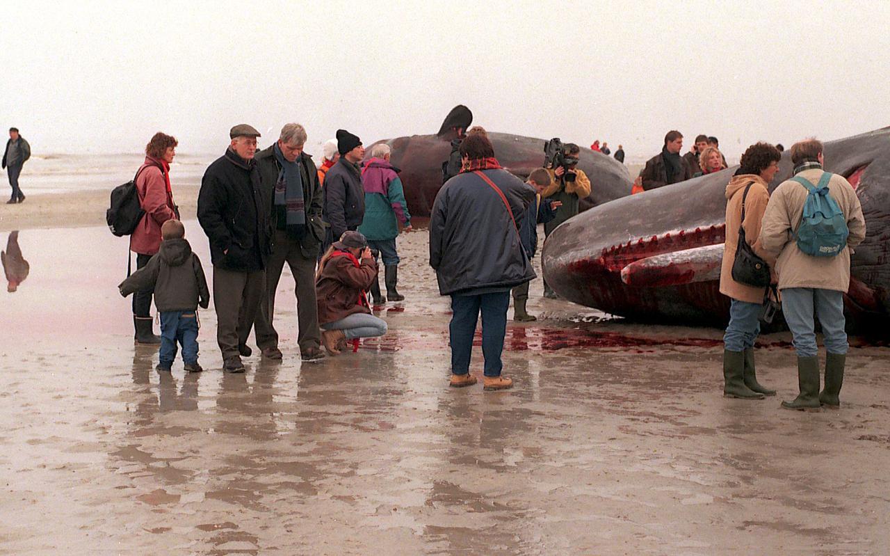 In 1997 lag er een potvis op het strand van Ameland. Voor de onderwaterpilot wordt ingezet op een kleinere soort.