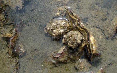 Japanse oesters in de Waddenzee.