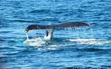 Aangespoeld walviskadaver moet onder water in Waddenzee kunnen vergaan.