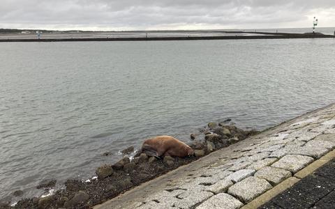 De walrus op de pier bij de haven van Terschelling.