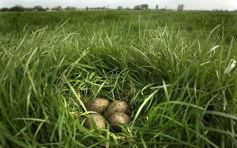 Verboden insectengif DDT terug te vinden in grutto-eieren in Blessum en Hallum