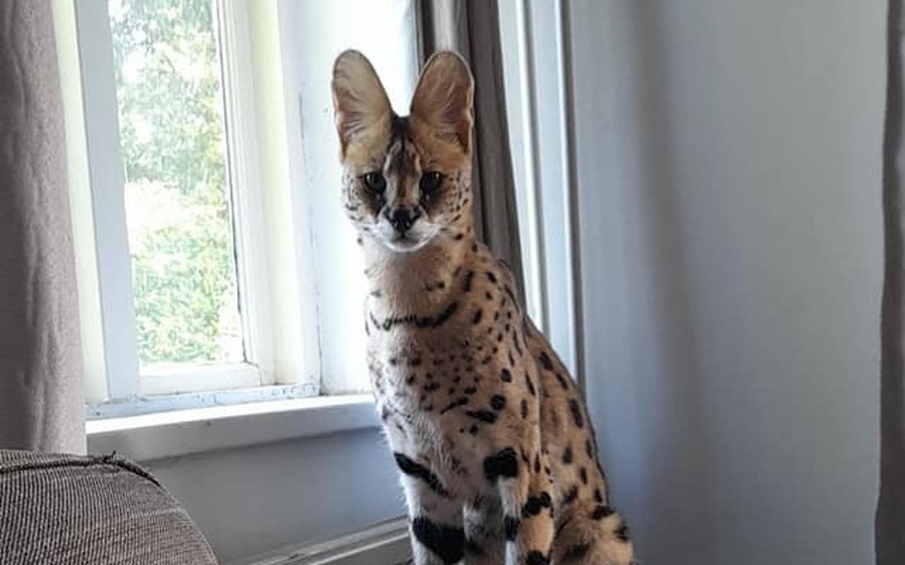'Sniper' de Serval in zijn huiskamer.