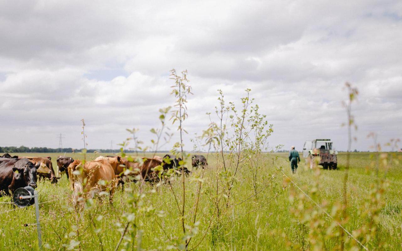 Een veehouder weidt zijn koeien op pachtgrond van Staatsbosbeheer.