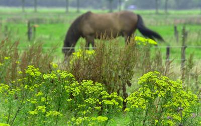 Jacobskruiskruid is ook in gedroogde vorm giftig voor onder meer koeien en paarden.