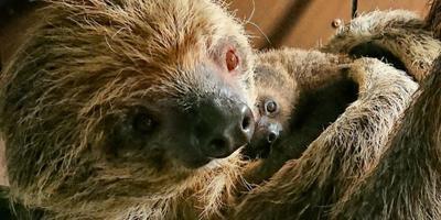 De moeder luiaard en haar jong. FOTO AQUAZOO LEEUWARDEN