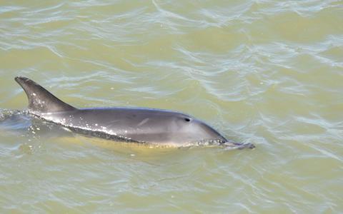 Er zwemt een dolfijn in de haven van Harlingen. Maar kom vooral niet kijken