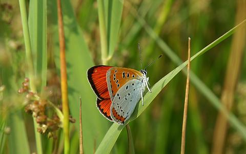 Dagvlinders hebben het moeilijk in Friesland. Met welke soorten gaat het best aardig en welke hebben het lastig?