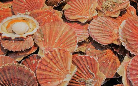 Coquille St.-Jacques, de culinaire apostel van de zee