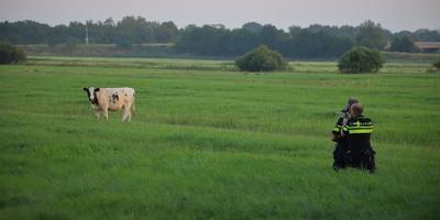 De politie was de hele dag in de weer met de koe. FOTO VAN OOST MEDIA