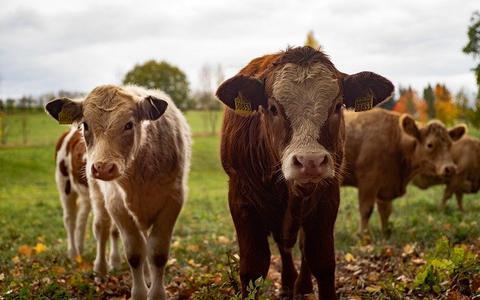 Nieuwe geurbeleid: groot deel veehouderijen Ooststellingwerf kan blijven groeien