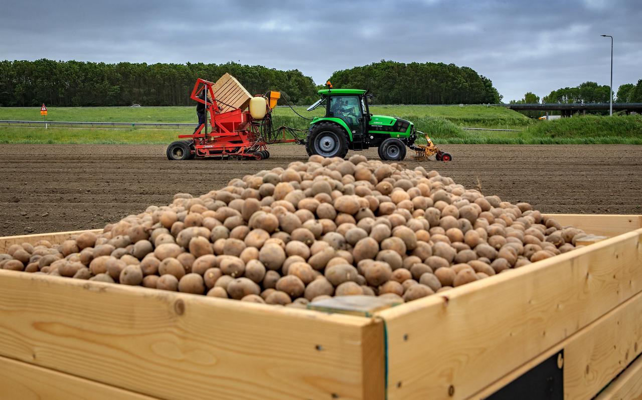 De pootaardappelen gaan de grond in.