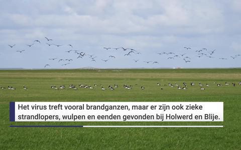 In beeld: De vogelgriep slaat hard toe bij brandganzen in de kwelders bij Blije en Holwerd