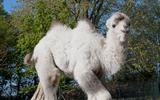 Geen kraambezoek bij wit kameeltje in SanjesZoo